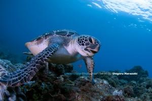 海藻を食らうアオウミガメ