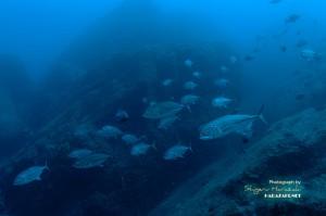巨大ギンガメアジも群れてた