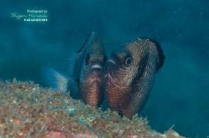 フタスジリュウキュウスズメダイの産卵