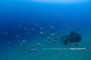 漁礁のムレハタタテダイの群れ2