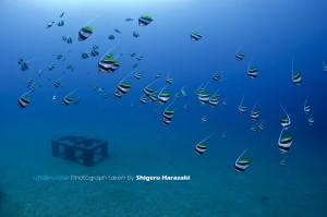 漁礁のムレハタタテダイの群れ1