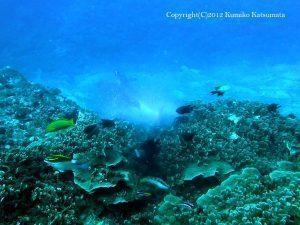 ウスサザナミサンゴの上で5-6匹が一斉に産卵!