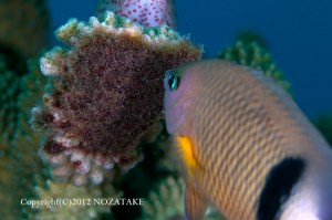 サンゴの一部を死滅させそこに海藻を育て産卵床にするイシガキスズメダイ