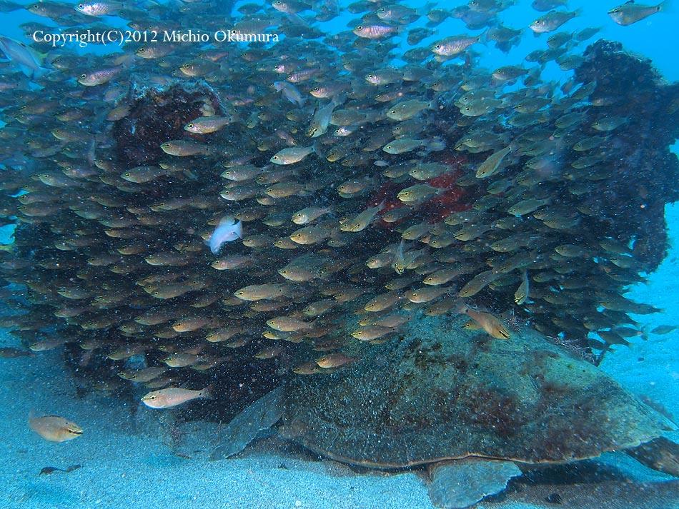 ゼロ戦でアカウミガメが寝る季節