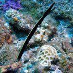 ハナヒゲウツボの幼魚