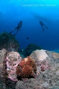 ヨスジ漁礁のオオモンカエルアンコウ