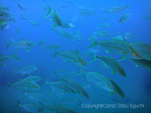 カンパチの若魚群れ