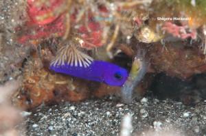クレナイニセスズメの捕食