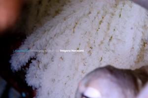 11日前のワモンダコの卵(10/19撮影)