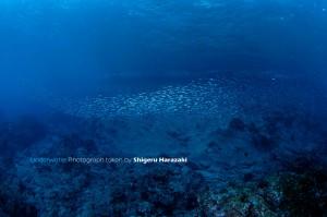 浅場のキビナゴの群れ
