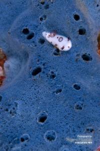 ブチウミウシ