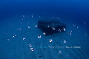 漁礁のムレハタタテダイたち