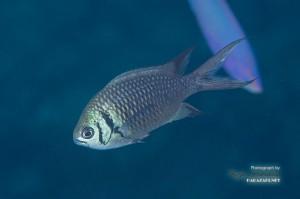 若い成魚の尾ビレは黒くなったり白くなったり。。。