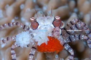 抱卵中のキンチャクガニ