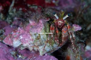 ヤドカリが背負う貝にヒドラ