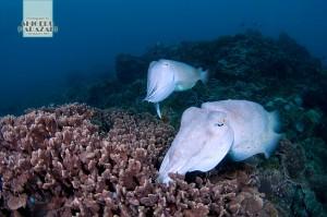 コブシメの産卵は今季初観察