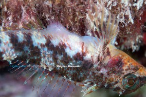 メスは産卵時、産卵管を海藻の中に差し入れる