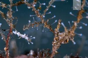 ヒドロ虫に着くウミウシ