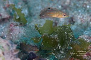 アオサにまとわりつくカザリキュウセンの若魚