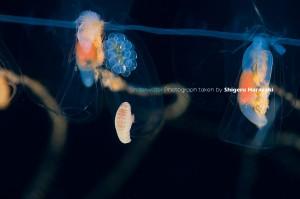 バテイクラゲの仲間に着くクラゲノミの仲間