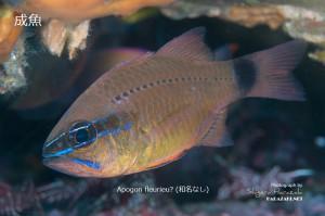 Apogon fleurieuの成魚?