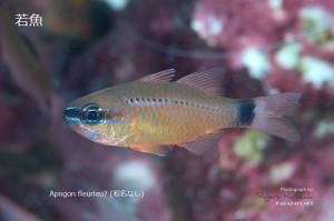 Apogon fleurieuの若魚?