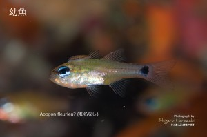 Apogon fleurieuの幼魚?