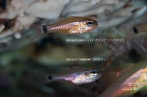 上:アオスジテンジクダイ、下:Apogon fleurieu??