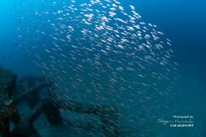 メアジの幼魚群れ
