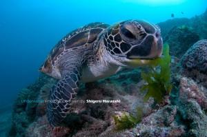 アオウミガメの採食