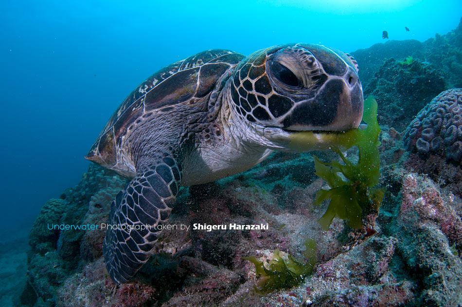 アオウミガメの画像 p1_31