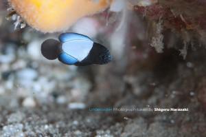 シモフリタナバタウオの極小幼魚(8mm)