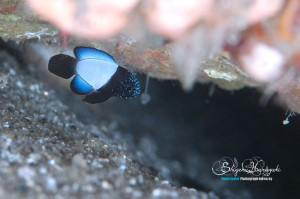 シモフリタナバタウオの幼魚