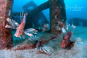 ハナミノカサゴたちが集う漁礁
