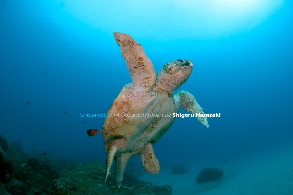ヨスジ漁礁のアカウミガメ