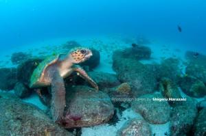 コガネキュウセンなどからクリーニングを受けるアカウミガメ