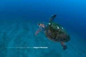 一湊湾内にもアカウミガメが入り込んでいた