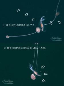 捕食用の粘膜に自らがかかるアホなカメガイの仲間(笑)
