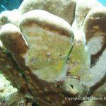 ハマサンゴの仲間と白化した部分