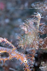 メスの腹鰭後方には孵化間近の卵
