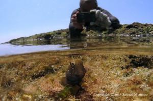 iPhoneで陸上からロウソクギンポの求愛を撮る僕。。。