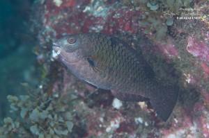 タイワンブダイの若魚(12cm)