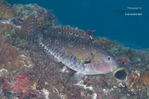 チビブダイの成魚(12cm)