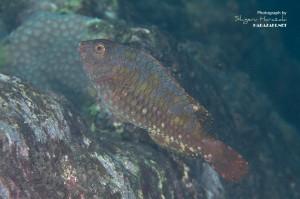タイワンブダイの若魚(10cm)