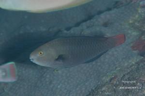 シジュウカラの若魚(10cm)