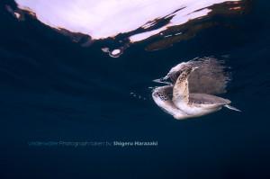息継ぎするアオウミガメ