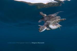水面直下のアオウミガメ