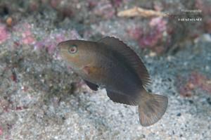 オオモンハゲブダイ 若魚(3-4cm)