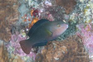 シジュウカラ 若魚(3-4cm)