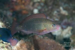 ハゲブダイ 若魚(3cm)